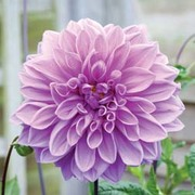 Dahlia 'Lavender Ruffles' - 2 dahlia tubers