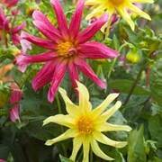 Dahlia variabilis 'Starlight Mixed' - Part of the Alan Titchmarsh Collection - 1 packet (30 seeds)