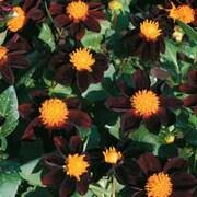 Dahlia 'Black Beauty' - 1 packet (50 dahlia seeds)