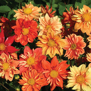 Dahlia variabilis 'Sunny Reggae' - 1 packet (40 dahlia seeds)