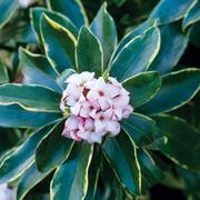 Daphne odora 'Aureomarginata' - 1 x 11cm potted Daphne plant