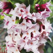Daphne 'Perfume Princess' - 1 x 10.5cm potted Daphne plant