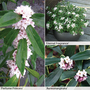 Daphne Trio Collection - 3 potted Daphne plants - 1 of each variety