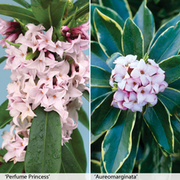 Daphne Duo - 2 x 10.5cm potted Daphne plants - 1 of each variety + 2 large patio pots