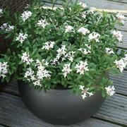Daphne x transatlantica 'Eternal Fragrance' (Large Plant) - 1 x 3 litre potted daphne plant