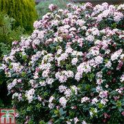 Daphne Tangutica - 1 x 10.5cm potted daphne plant