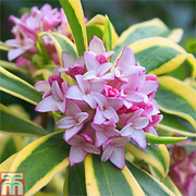 Daphne odora 'Rebecca' - 1 x 11cm potted daphne plant