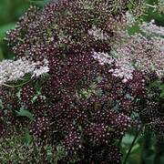 Daucus carota 'Dara' - 1 packet (75 daucus seeds)