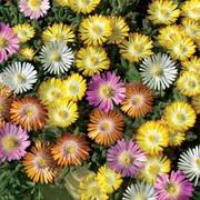 Delosperma 'Hardy Mixed' - 5 delosperma jumbo plug plants