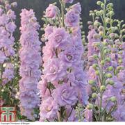 Delphinium 'Pink Blushes' - 10 delphinium Postiplug plants
