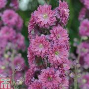 Delphinium 'Flamenco' - 1 delphinium jumbo plug plant