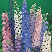 Delphinium 'Magic Fountains Mixed' - 1 x 1 litre potted delphinium plant
