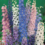 Delphinium 'Magic Fountains Mixed' (Garden Ready) - 15 delphinium garden ready plants