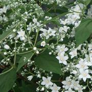 Deutzia setchuenensis var. corymbiflora (Large Plant) - 1 x 3.5 litre potted deutzia plant