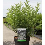 Deutzia gracilis (Large Plant) - 1 x 3.6 litre potted deutzia plant