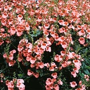Diascia barberae 'Apricot Queen' - 1 packet (80 diascia seeds)