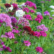 Dianthus barbatus 'Mixed' (Garden Ready) - 30 dianthus garden ready plants