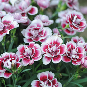 Dianthus 'Odessa Amy' - 10 dianthus pencil plug plants