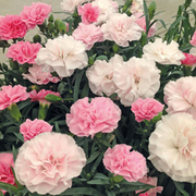 Dianthus 'Yesterday, Today, Tomorrow' - 10 dianthus pencil plug plants