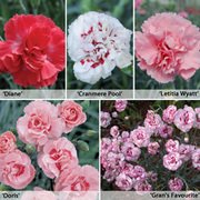 Dianthus 'Perfumed Pinks' Collection - 5 dianthus Postiplug plants