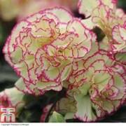Dianthus 'Neon Lace' - 10 dianthus pencil plug plants