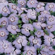 Dianthus amurensis 'Siberian Blues' - 1 packet (100 dianthus seeds)
