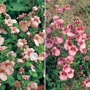 Diascia Collection - 2 packets - 1 of each variety (180 diascia seeds in total)