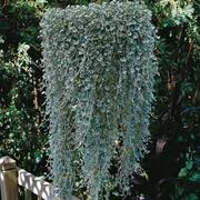 Dichondra argentea 'Silver Falls' - 1 packet (10 dichondra seeds)