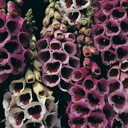 Foxglove 'Glittering Prizes Mixed' - 1 packet (300 foxglove seeds)