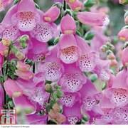 Foxglove 'Knee High Mixed' - 10 foxglove Postiplug plants