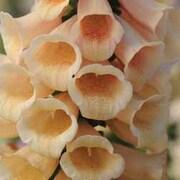Foxglove 'Dalmatian Peach' F1 Hybrid - 1 packet (12 foxglove seeds)