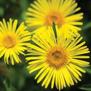 Doronicum caucasicum 'Little Leo' (Large Plant) - 1 x 1 litre potted doronicum plant