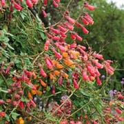 Eccremocarpus scaber 'Anglia Hybrids Mixed' - 1 packet (130 seeds)