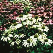 Echinacea purpurea 'Lustre Hybrids' - 1 packet (25 echinacea seeds)