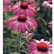 Echinacea purpurea 'Primadonna' - 6 echinacea plug plants