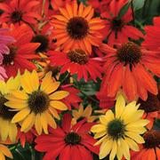 Echinacea 'Cheyenne Spirit Mixed' - 12 echinacea plug plants