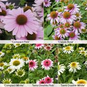Echinacea 'Papallo Collection' - 5 echinacea jumbo plug plants