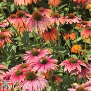 Echinacea purpurea 'Primadonna Mixed' (Garden Ready) - 15 echinacea garden ready plants