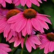 Echinacea 'PowWow Wild Berry' - 1 packet (10 echinacea seeds)