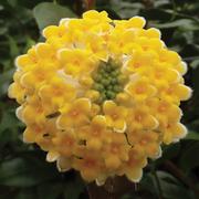 Edgeworthia chrysantha 'Grandiflora' - 1 x 19cm potted edgeworthia plant