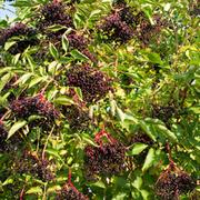 Elderberry (Hedging) - 1 bare root hedging plant