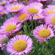 Erigeron glaucus 'Sea Breeze' (Large Plant) - 1 x 1 litre potted erigeron plant