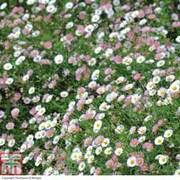 Erigeron 'Stallone' (Garden Ready) - 15 erigeron garden ready plants