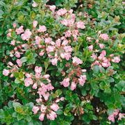 Escallonia 'Apple Blossom' - 1 x 3.5 litre potted escallonia plant