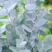 Eucalyptus gunnii (Large Plant) - 1 x 3.5 litre potted eucalyptus plant