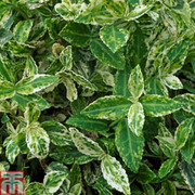 Euonymus fortunei 'Harlequin' (Large Plant) - 1 x 3 litre potted euonymus plant