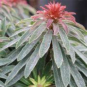 Euphorbia 'Rudolph' - 3 euphorbia jumbo plug plants