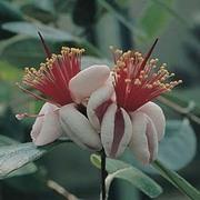Feijoa sellowiana - 1 packet (30 feijoa sellowiana seeds)