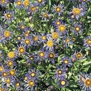 Felicia bergeriana - 1 packet (250 seeds)