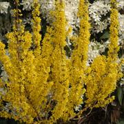 Forsythia x intermedia 'Mikador' (Large Plant) - 1 x 3.6 litre potted forsythia plant